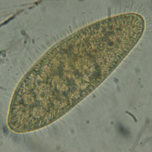 Live freshwater Paramecia culture